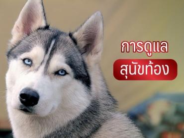 การดูแล สุนัขท้อง - ไซบีเรียน