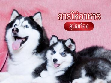 การให้อาหาร สุนัขท้อง - ไซบีเรียน