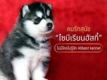 คนรักสุนัขไซบีเรียน ไม่มีใครไม่รู้จัก all best kennel