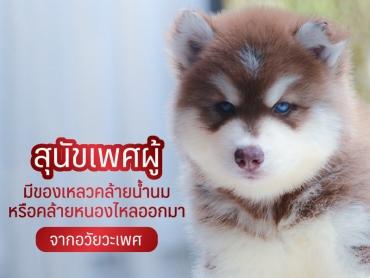 สุนัขเพศผู้ มีของเหลวคล้ายน้ำนม หรือคล้ายหนอง ไหลออกมาจากอวัยวะเพศ - ไซบีเรียน