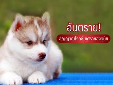 อันตราย สัญญาณโรคซึมเศร้าของสุนัข - ไซบีเรียน