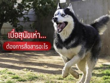 เมื่อสุนัขเห่า ต้องการสื่อสารอะไร - ไซบีเรียน